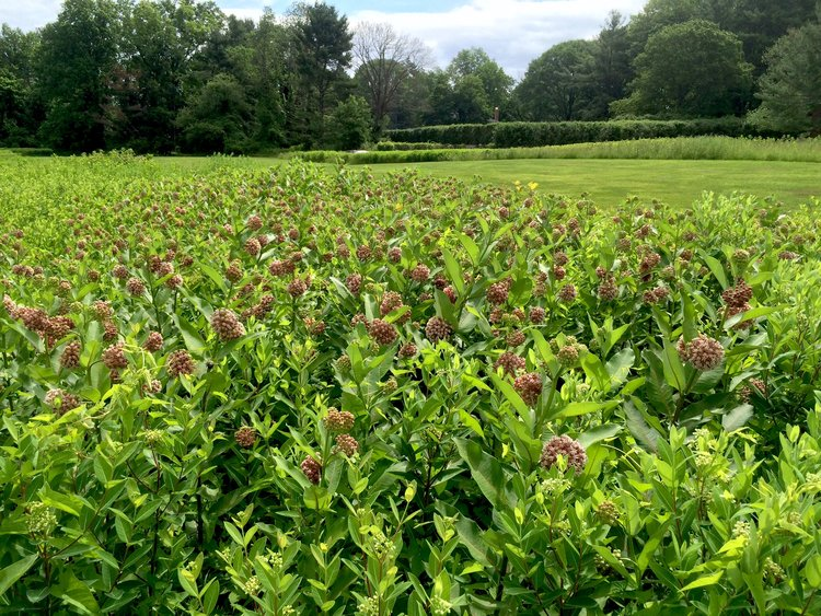 Created a wildlife-friendly milkweed meadow!